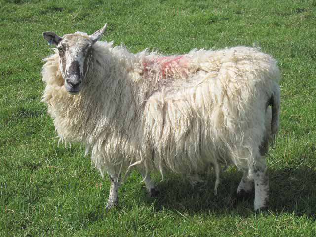 An ancient breed of sheep